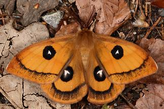 Aglia tau - Nagelfleck, Männchen (1)