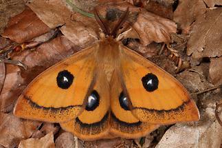 Aglia tau - Nagelfleck, Männchen (2)