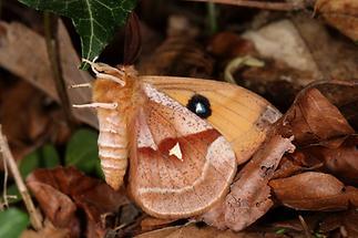 Aglia tau - Nagelfleck, Männchen (3)