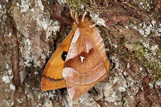 Aglia tau - Nagelfleck, Männchen (4)