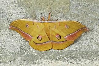 Antheraea yamamai - Japanischer Eichenseidenspinner, Weibchen