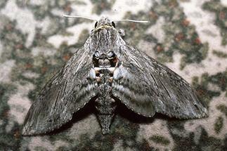 Agrius convolvuli - Windenschwärmer, Falter
