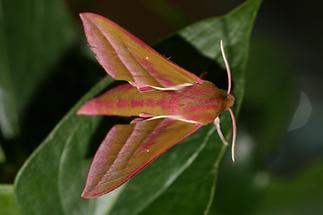 Deilephila elpenor - Mittlerer Weinschwärmer, Falter (1)