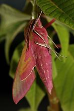 Deilephila elpenor - Mittlerer Weinschwärmer, Falter (4)