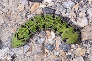 Deilephila elpenor - Mittlerer Weinschwärmer, Raupe (1)