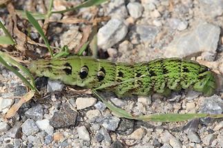 Deilephila elpenor - Mittlerer Weinschwärmer, Raupe (2)