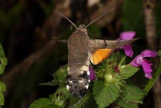 Macroglossum stellatarum - Taubenschwänzchen, Falter (1)
