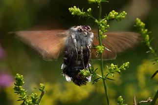 Macroglossum stellatarum - Taubenschwänzchen, von unten im Flug