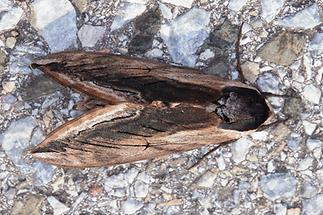 Sphinx ligustri - Ligusterschwärmer (1)
