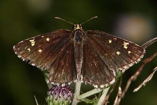 Heteropterus morpheus - Spiegelfleck-Dickkopffalter, Falter Oberseite