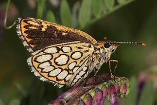 Heteropterus morpheus - Spiegelfleck-Dickkopffalter, Falter Unterseite (1)