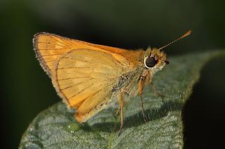 Ochlodes sylvanus - Rostfarbiger Dickkopffalter, Falter (1)