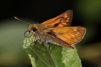 Ochlodes sylvanus - Rostfarbiger Dickkopffalter, Falter (2)
