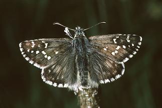 Pyrgus alveus - Sonnenröschen-Würfel-Dickkopffalter, Falter (1)