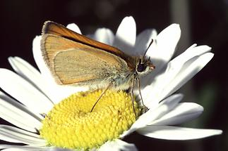 Thymelicus sylvestris - Braunkolbiger Braundickkopffalter, Falter