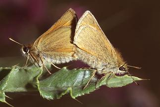 Thymelicus sylvestris - Braunkolbiger Braundickkopffalter, Paar