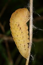 Iphiclides podalirius - Segelfalter, Vorpuppe
