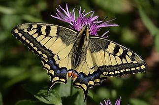 Papilio machaon - Schwalbenschwanz, Falter (1)