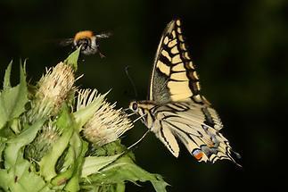 Papilio machaon - Schwalbenschwanz, Falter (2)