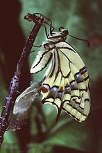 Papilio machaon - Schwalbenschwanz, Falter frisch geschlüpft