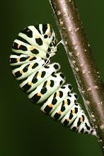 Papilio machaon - Schwalbenschwanz, Vorpuppe