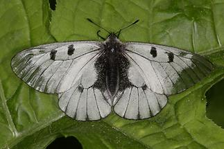 Parnassius mnemosyne - Schwarzer Apollo, Falter (1)