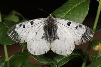 Parnassius mnemosyne - Schwarzer Apollo, Falter (2)