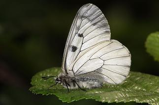 Parnassius mnemosyne - Schwarzer Apollo, Falter (3)
