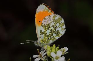 Anthocaris cardamines - Aurorafalter, Männchen