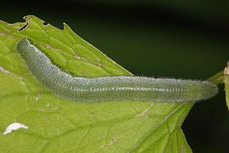 Anthocaris cardamines - Aurorafalter, Raupe
