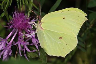 Gonepteryx rhamni - Zitronenfalter, Männchen