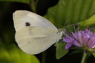 Pieris rapae - Kleiner Kohlweißling, Falter auf Blüte