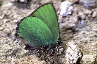 Callophrys rubi - Grüner Zipfelfalter