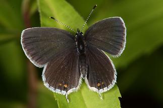 Cupido argiades - Kurzschwänziger Bläuling, Weibchen