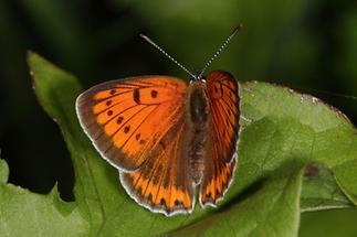 Lycaena dispar - Großer Feuerfalter, Weibchen