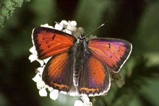 Lycaena hippothoe - Lilagold-Feuerfalter, Männchen