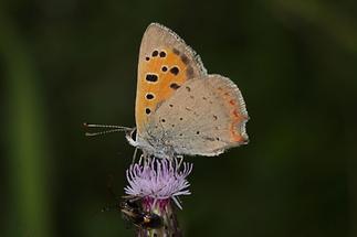 Lycaena phlaeas - Kleiner Feuerfalter, Falter (2)
