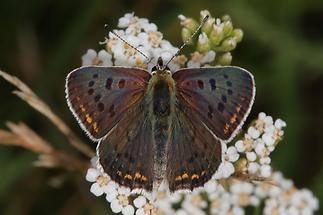 Lycaena tityrus - Brauner Feuerfalter, Männchen