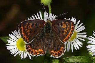 Lycaena tityrus - Brauner Feuerfalter, Weibchen