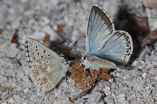 Polyommatus coridon - Silbergrüner Bläuling, 2 Falter