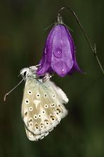 Polyommatus coridon - Silbergrüner Bläuling, Falter auf Blüte