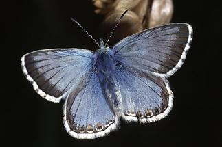 Polyommatus coridon - Silbergrüner Bläuling, Insekt des Jahres 2015