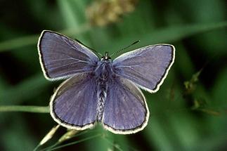 Polyommatus icarus - Hauhechel-Bläuling, Falter (1)