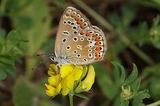 Polyommatus icarus - Hauhechel-Bläuling, Falter (2)