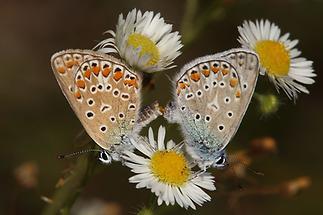 Polyommatus icarus - Hauhechel-Bläuling, Paar