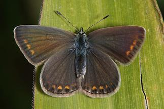 Polyommatus icarus - Hauhechel-Bläuling, Weibchen