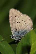 Polyommatus semiargus - Rotklee-Bläuling, Falter (2)