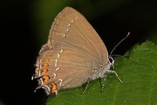 Satyrum ilicis - Brauner Eichenzipfelfalter, Falter