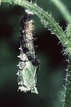 Aglais urticae - Kleiner Fuchs, Raupe beim Verpuppen