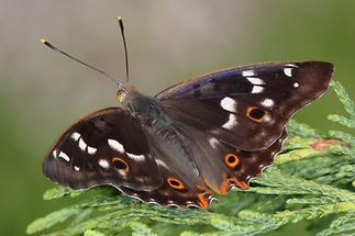 Apatura ilia - Kleiner Schillerfalter, Männchen Oberseite (1)